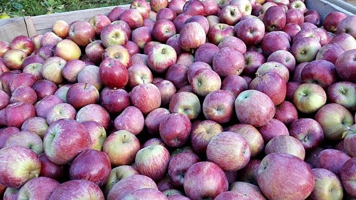 <em>Fotogalería</em><br>Si te gusta comer manzanas… así se cosecha la fruta