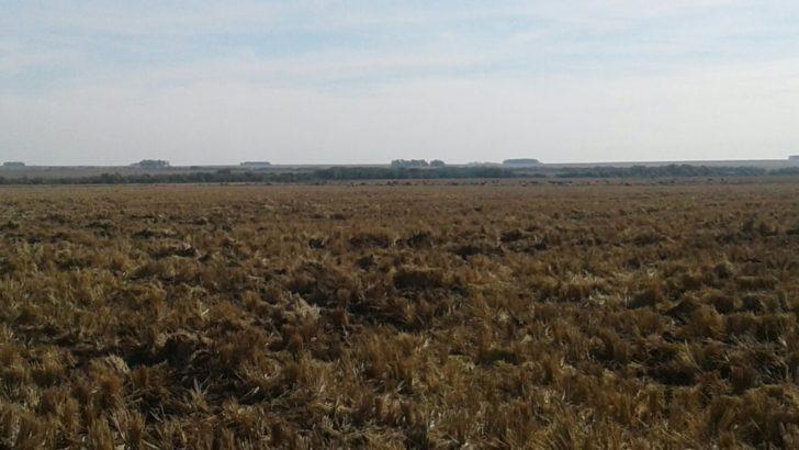¿Qué dejó la cosecha de arroz en Salto y Artigas?