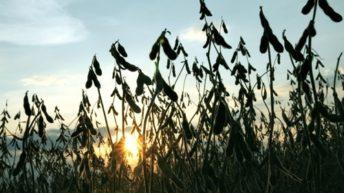 Principales cifras del cultivo de soja en la zafra 2018/2019