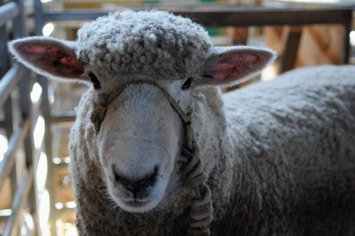 Una apuesta del sector cooperativo a la innovación en la ovinocultura