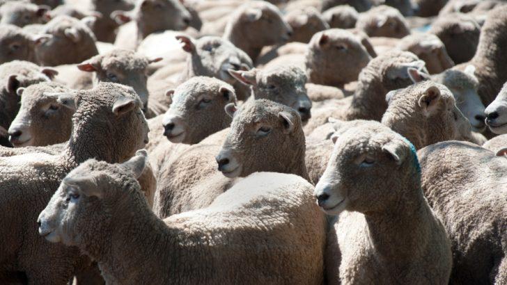 <em>Ganadería</em><br>EEUU habilitó entrada de carne ovina con hueso; productores ahora apuntan al mercado europeo
