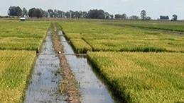 La zafra de siembra de arroz tuvo un buen arranque