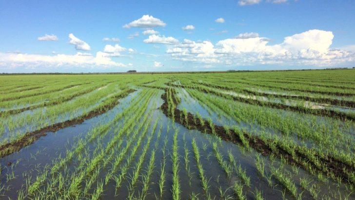 ¿Cuál es la situación del cultivo de arroz?