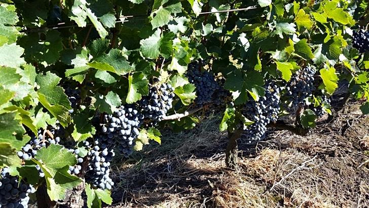 Vendimia 2017 en los viñedos Giménez Méndez en Las Brujas