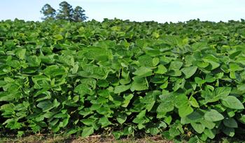 ¿Cómo fue la zafra 2016/2017 para el cultivo de soja?