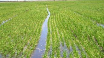 ¿Cómo está cerrando la zafra 2017/2018 para el cultivo de arroz?
