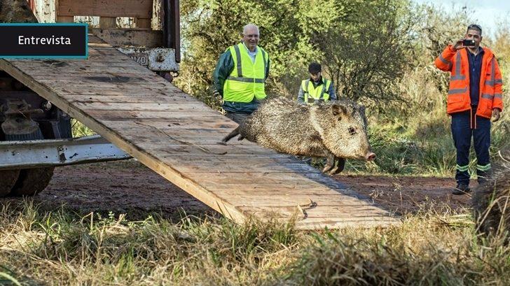 El pecarí volvió a vivir en territorio uruguayo tras casi dos décadas de trabajo