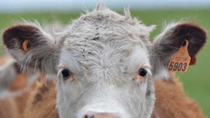 Cómo funciona la trazabilidad del ganado y por qué fue posible el caso de abigeato en Rocha
