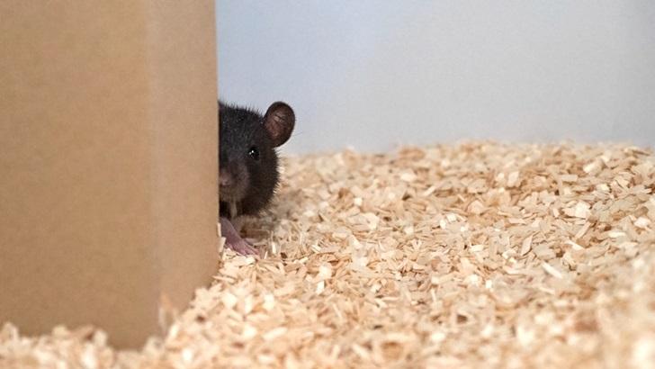 Ratas que juegan a las escondidas con humanos: Investigación con derivaciones en comprensión del cerebro, inteligencia artificial y educación, dice neurobiólogo uruguayo
