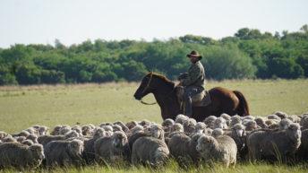<em>Conteo de ovinos</em>: La app que permite a los productores un mayor control sobre su ganado
