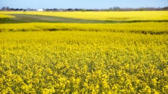 Colza-canola: ¿Por qué es un cultivo alternativo?