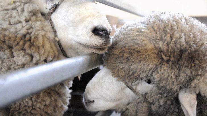 ¿Cómo impactó el temporal de Santa Rosa en el rubro ovino?