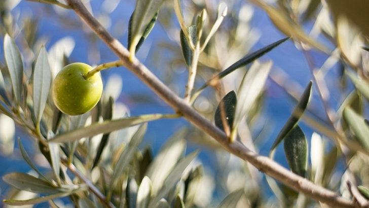 ¿Cómo viene creciendo el sector olivícola y qué futuro tiene?