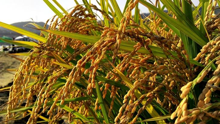 ¿Cómo viene la cosecha de arroz y de soja? ¿Qué podemos ver en el campo por estos días?