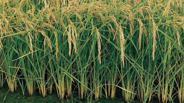 ¿Cómo se presenta la zafra 2020/2021 en el cultivo de arroz?