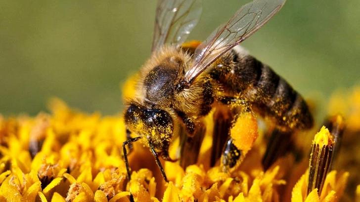 La Mesa de Científicos: La importancia de las abejas en la producción agropecuaria y el peligro que representa la progresiva pérdida de colmenas en Uruguay