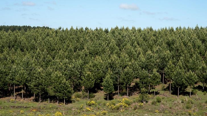 Uruguay y los «bonos de carbono»: Proyectos forestales ya han vendido sus certificados en el mercado internacional. ¿Qué papel juega la empresa Carbosur? ¿Cuál es el futuro de esta tendencia?