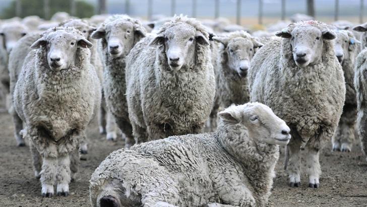 Conexión Interior: Qué está pasando con la producción de lana estos días en el campo, cómo fue la última zafra y cómo la moda internacional afecta al productor uruguayo