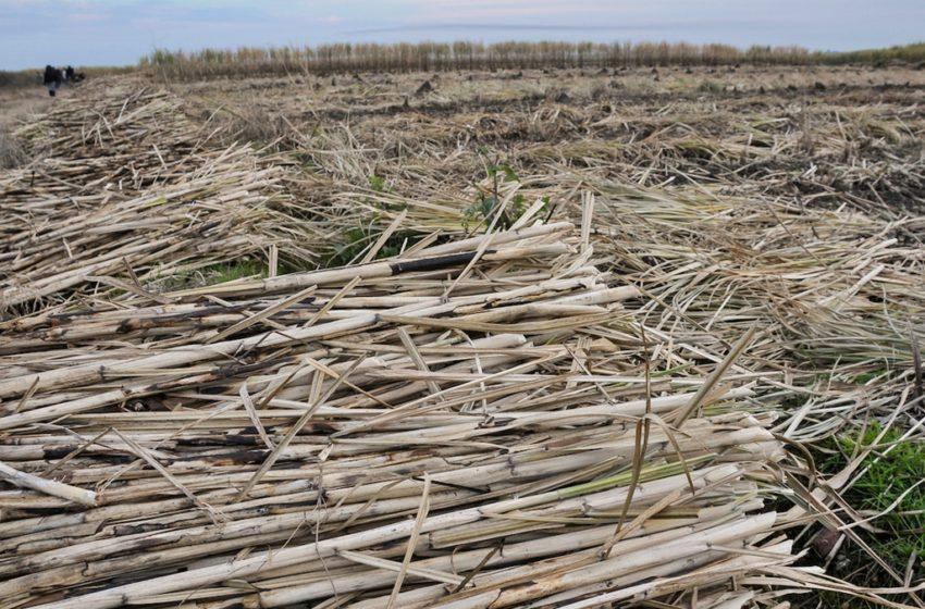 """Conexión Interior: Comenzó cosecha de caña de azúcar en Bella Unión. Qué es un tablón y una lucha, cuál es la diferencia entre un cañero y un """"peludo"""" y en qué consiste su tarea en estas épocas"""